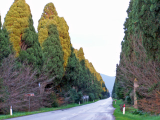Magnificent cypress trees line the road to Bolgheri.